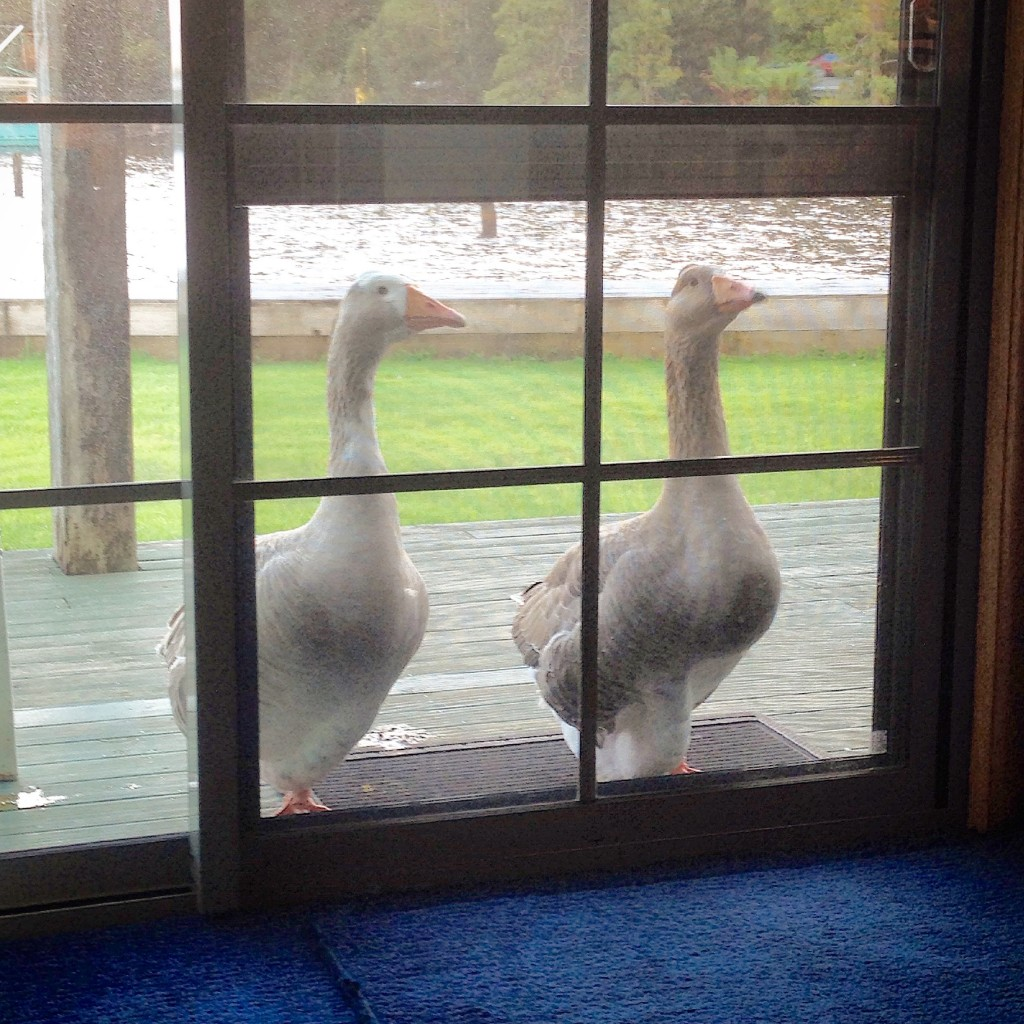 Knock Knock. Who's There? Goosey Ganders at Risby Cove, Strahan
