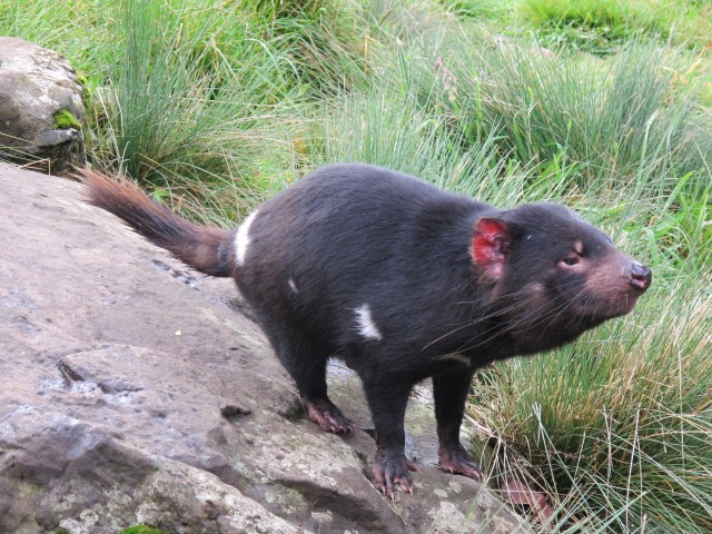 Tasmanian Devil at the Devils @ Cradle Sanctuary