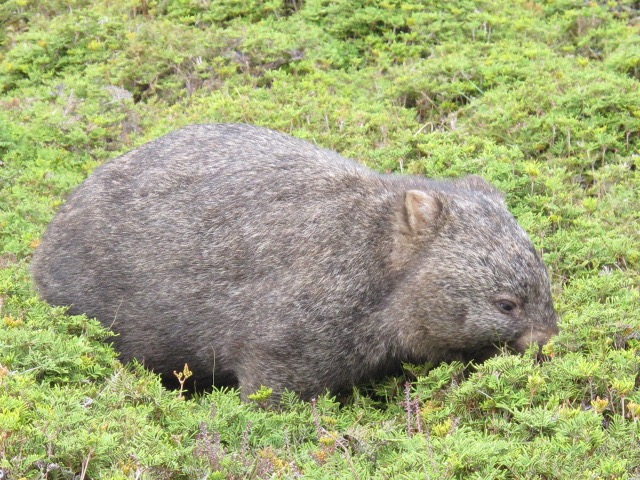 A hungry Wombat, Cradle Mountain Lodge